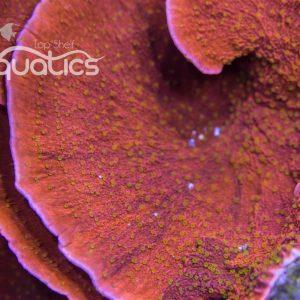 Reeftech Starburst Monti