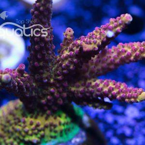 Pro Corals Rainbow