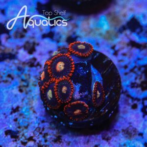 TSA Black Widow Zoanthids - WYSIWYG Softie Frag