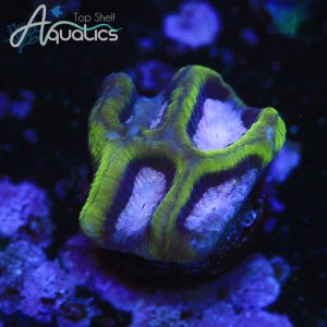 Purple Center Platy - WYSIWYG Softies Frag