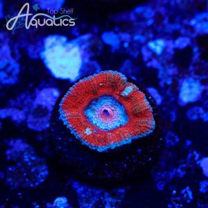 Fire and Ice Acans - WYSIWYG LPS Frag
