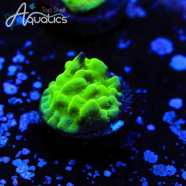 TSA Sour Apple - WYSIWYG SPS Frag