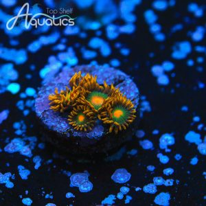 Green Bay Packers Zoanthids - WYSIWYG Softies Frag