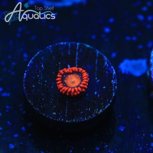 Mandarin Orange Zoas - WYSIWYG Softies Frag