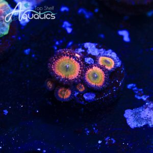 CB Rainbow Infusions - WYSIWYG Softies Frag