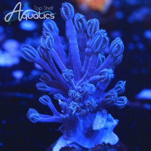 Blue Cespitularia - Softies Frag