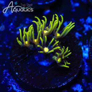 Green Star Polyps - WYSIWYG Softie Frag