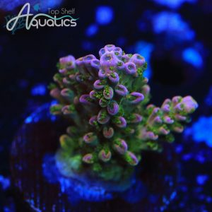 TSA Northern Lights - WYSIWYG SPS Frag