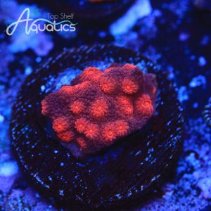 Red Brick Cyphastrea - WYSIWYG SPS Frag