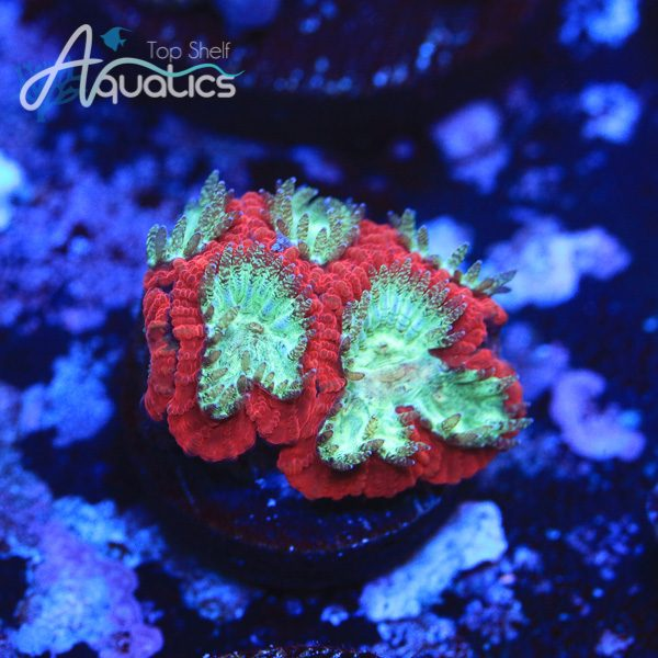 Blood Diamond Favites - WYSIWYG LPS Frag