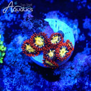 TSA Ring of Fire Zoanthids - WYSIWYG Softie Frag