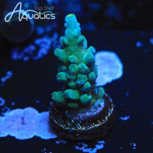 WWC Yellow Tips - WYSIWYG SPS Frag