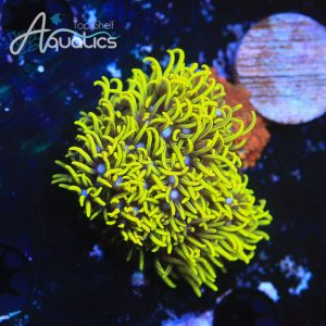 Green Star Polyps - Softies Frag