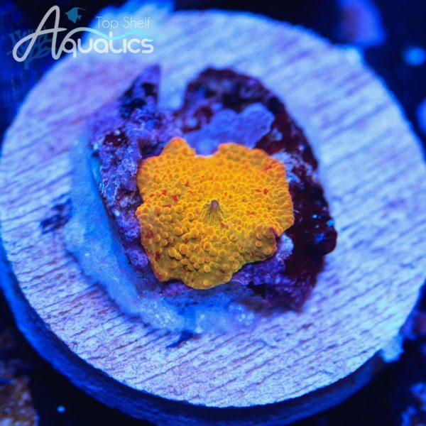 Jawbreaker Mushroom - WYSIWYG Softie Frag