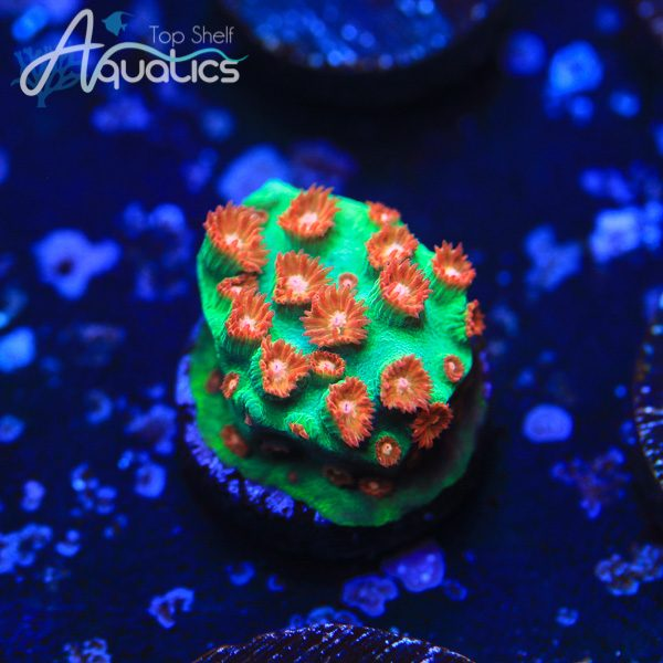 WWC Jingle Bells Cyphastrea - WYSIWYG SPS Frag