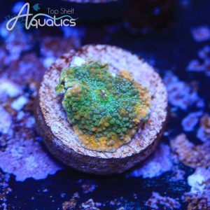 Pot of Gold Shroom - WYSIWYG LPS Frag