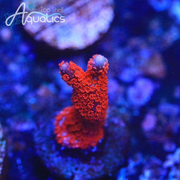Cherry Red Digi - WYSIWYG SPS Frag
