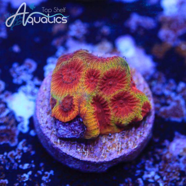 Cherry Corals Darth Maul Favia - WYSIWYG LPS Frag