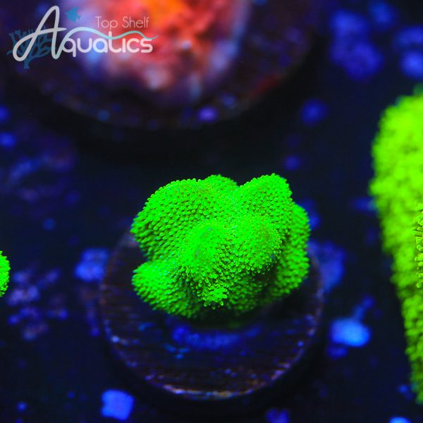 Kelly Green Psammy - WYSIWYG SPS Frag