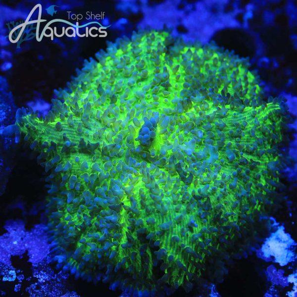 Green Hairy Mushroom - WYSIWYG SPS Frag