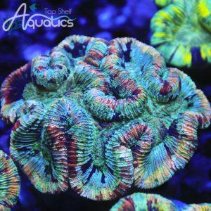 Rainbow Trachy - WYSIWYG LPS Frag