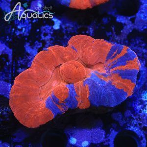 Two headed Superman Scoly - WYSIWYG LPS Frag