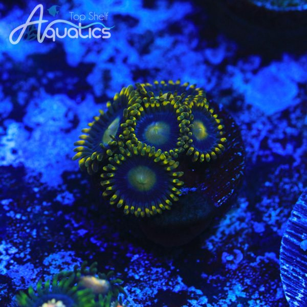 Green Skirt Zoas - WYSIWYG Softie Frag