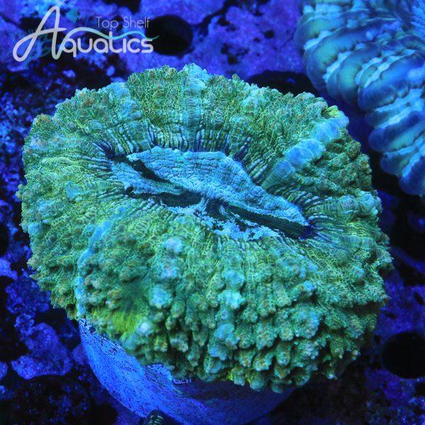 Green Acanthophyllia - WYSIWYG SPS Frag