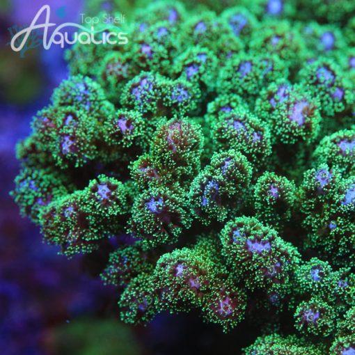 Green Pocillopora - Cut to Order Frag