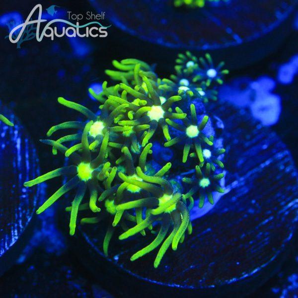 Green Star Polyp - WYSIWYG Softie Frag