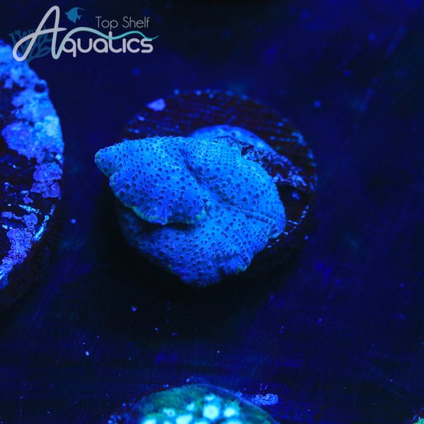 Blue Discosoma - WYSIWYG Softie Frag