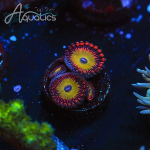 Candy Apple Red Zoas - WYSIWYG LPS Frag