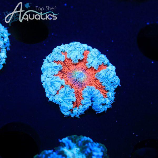 Ultra Rock Anemone - WYSIWYG Anemone
