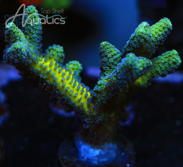 Bird of Paradise - WYSIWYG SPS Frag