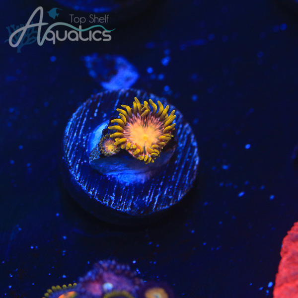 Hydra Dragon Lady Zoas - WYSIWYG Softie Frag