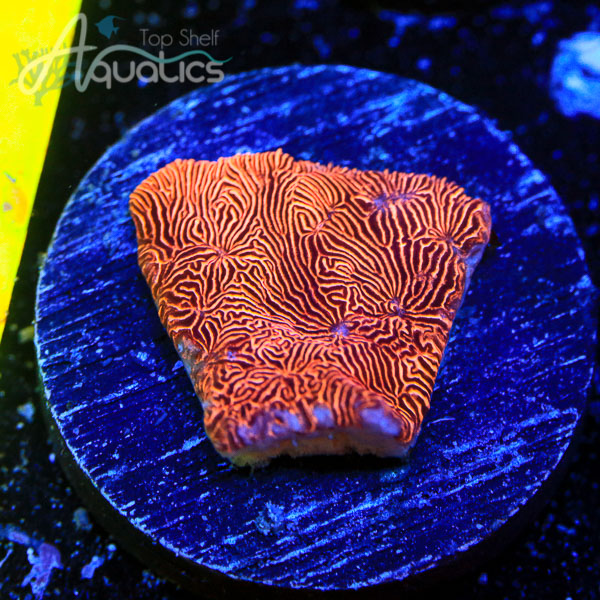 Blood Orange Lepto - WYSIWYG SPS Frag