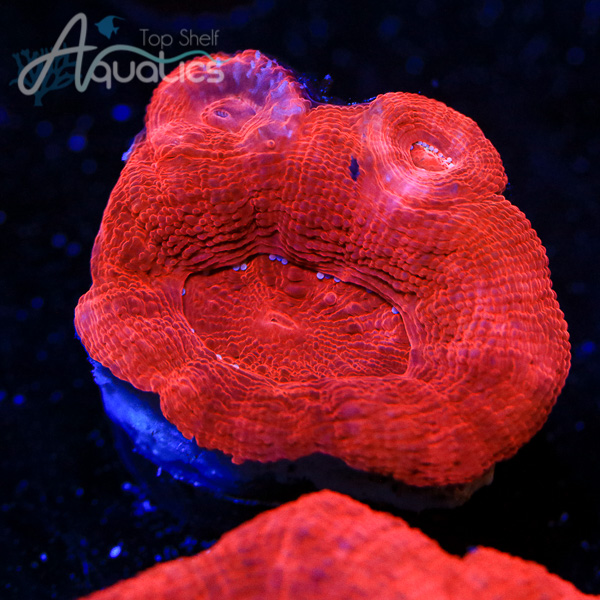 Cherry Red Bowerbankii - WYSIWYG LPS Frag