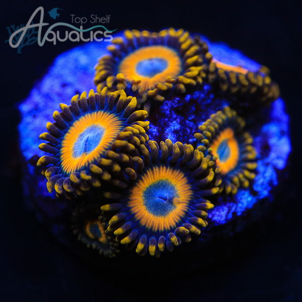 Scrambled Eggs Zoas - WYSIWYG Softie Frag