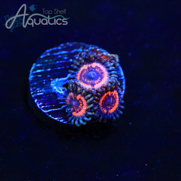 Armor of the Gods Zoa - WYSIWYG Softie Frag