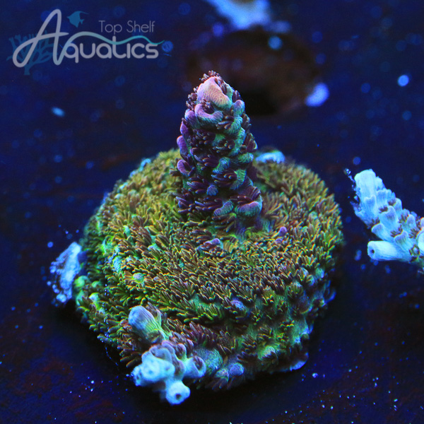 UC Dippin Dots Acro - WYSIWYG SPS Frag