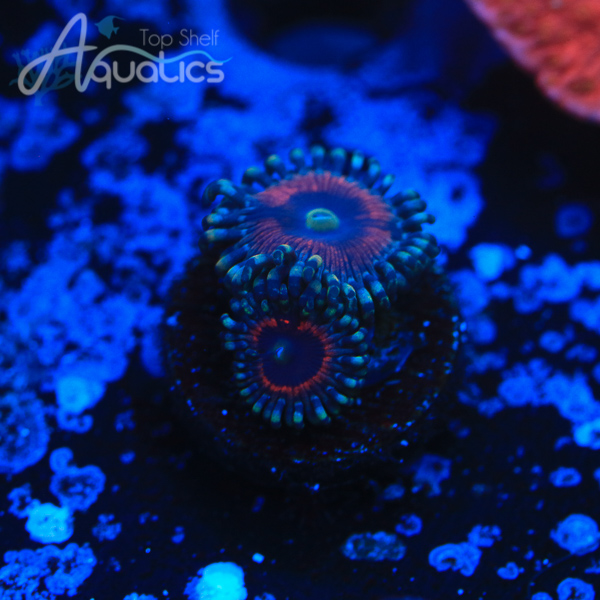 Cat Eye Zoas - WYSIWYG Softie Frag