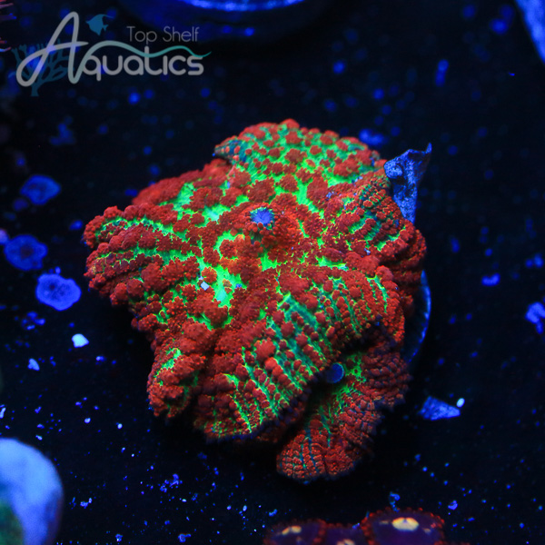 Forest Fire Shroom - WYSIWYG Softies Frag