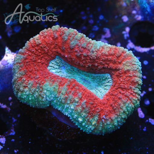 Red and Teal Lobo - WYSIWYG LPS Frag