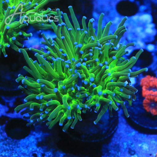 Blue Tip Torch(3 Mouths) - WYSIWYG LPS Frag